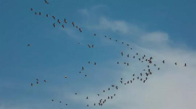 鸟类集结黑河湿地!俄语版《静静的湿地》展开水鸟家庭的生命故事