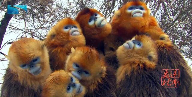 神农架再添金丝猴宝宝,俄语版《迷雾森林》带你走进神农架、探秘金丝猴